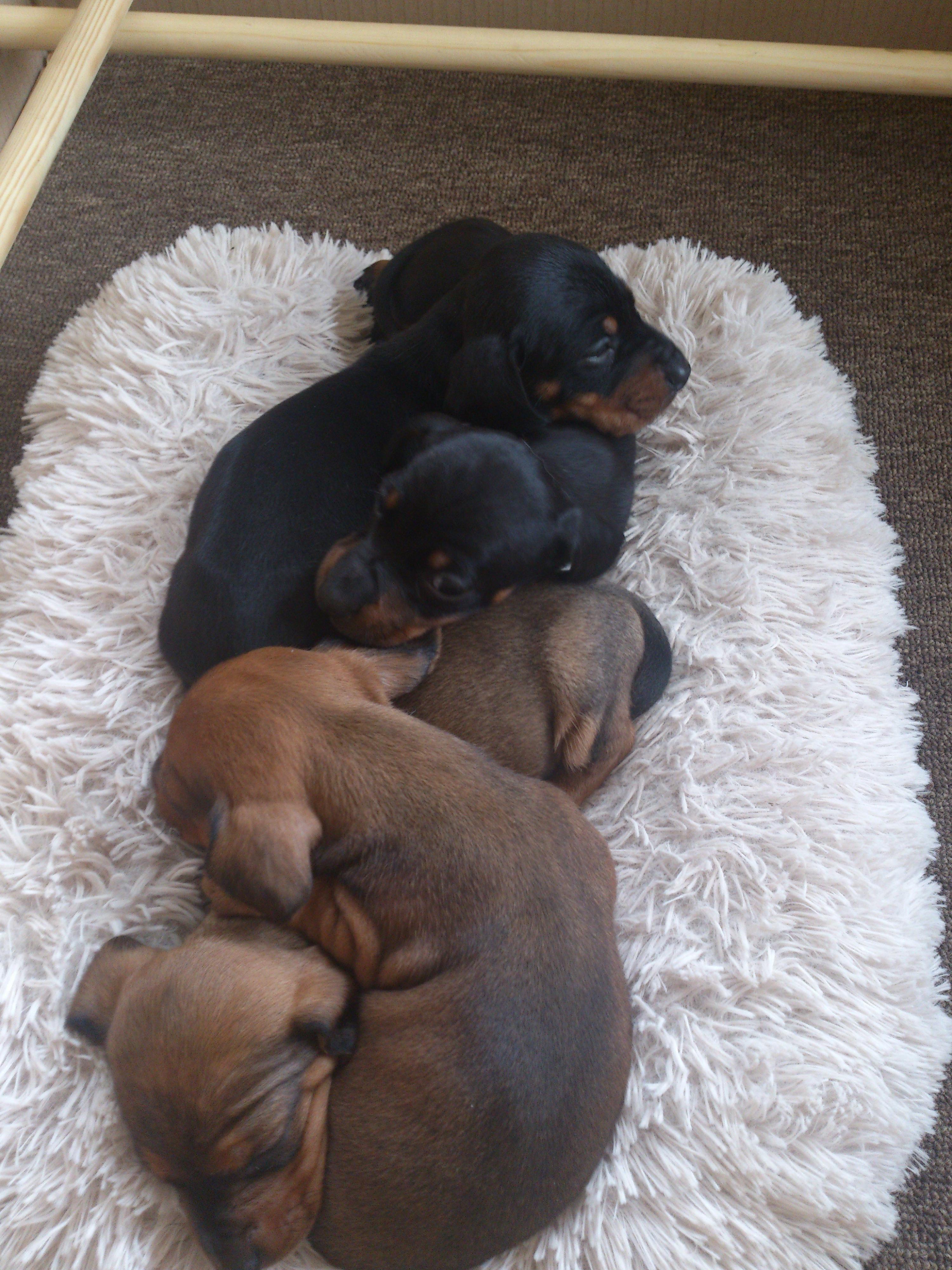 Dachshund Puppy Four Pack Dachshund Puppies Dachshund Love Dog