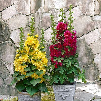 rose tr mi re naine bakker id es jardin cool roses. Black Bedroom Furniture Sets. Home Design Ideas