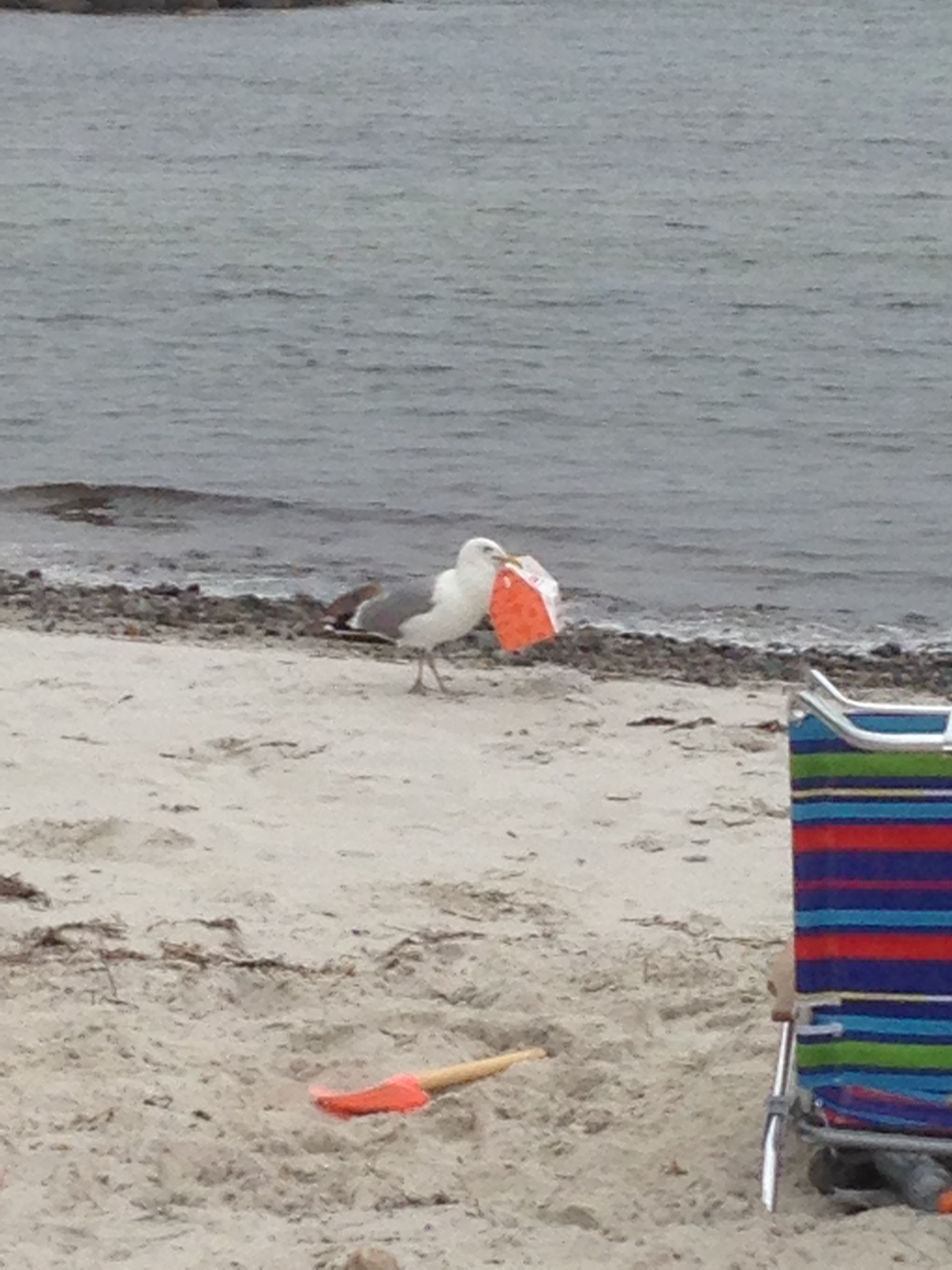 Seagull at the beach stealing some Dunkin Donuts lol