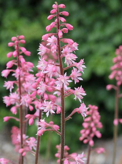 Tiarella laciniata 'Pink Skyrocket' / Schaumblüte günstig beim Stauden-Spezialisten kaufen | Stauden Spezialist / Baumschule New Garden