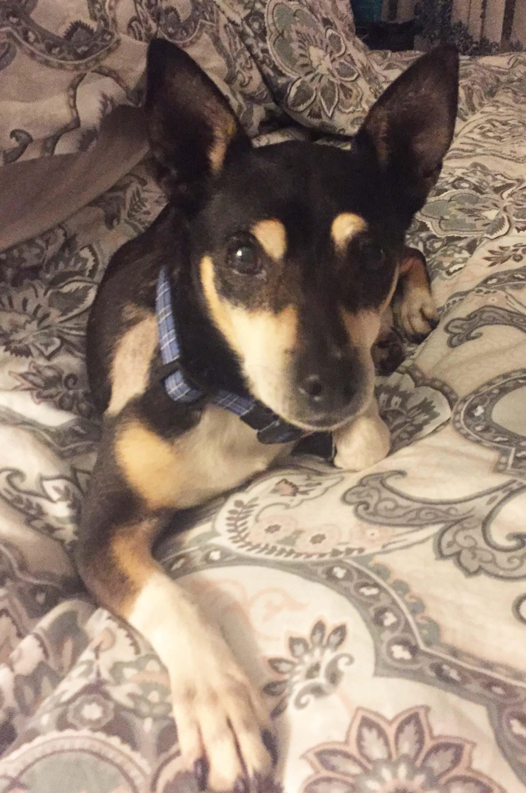 Adopt Oliver on Miniature pinscher, Pets, Dogs