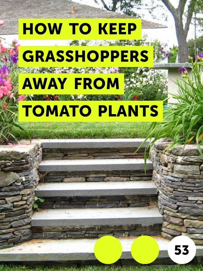 Learn How to Keep Away From Tomato Plants