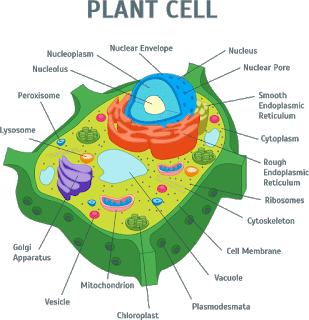 What is a cell? Definition, Functions in 2020 | Plant cell ...