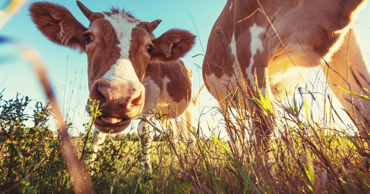 The Secret Lives of Cows http//ift.tt/1AQ2iRE How to Make