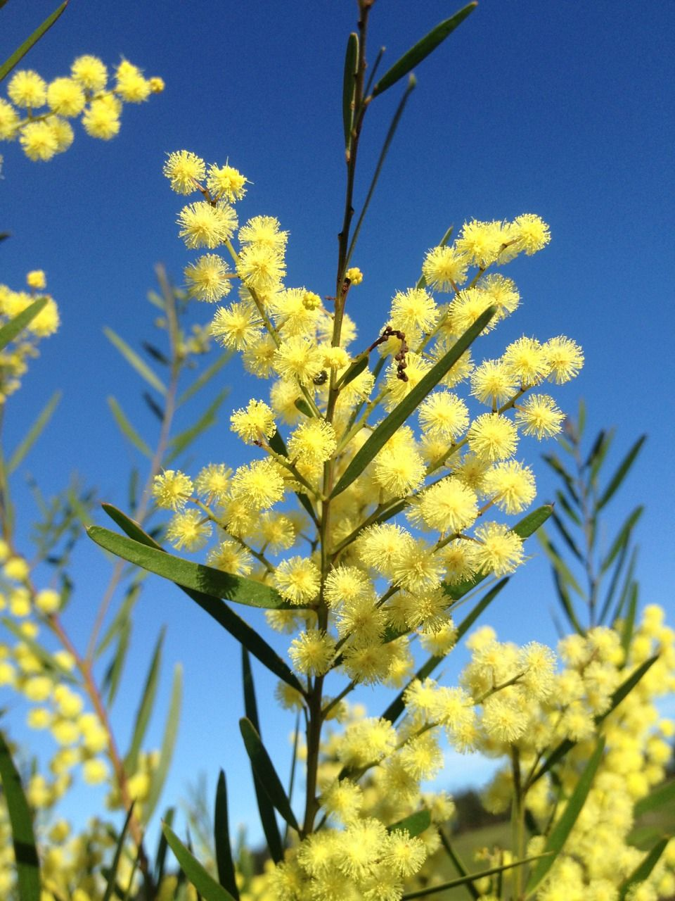These fluffy Wattle flowers almost look like yellow snow
