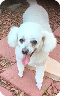 Corona Ca Miniature Poodle Meet Precious Bella Mini Poodle A