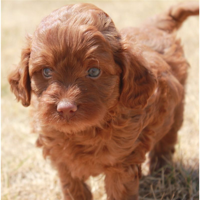Images Of Toy Labradoodles – Wow Blog