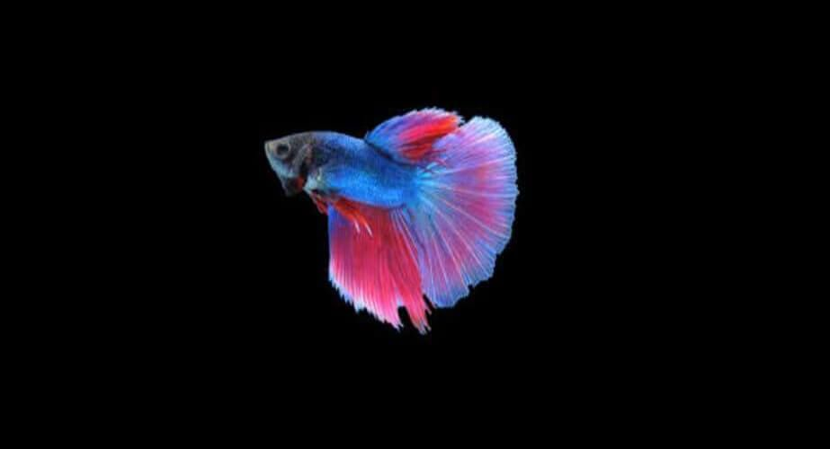 Betta Fish Best Pets For Kids