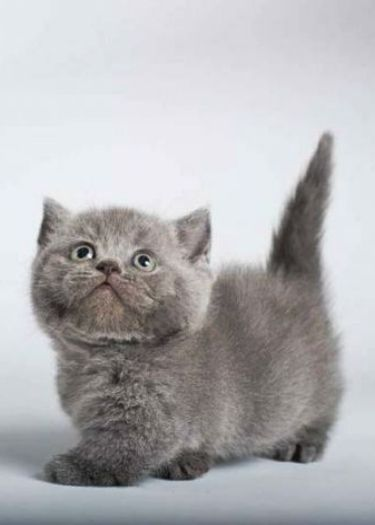 Grey Munchkin Kitten Munchkin Kitten Munchkin Cat Cute Animals