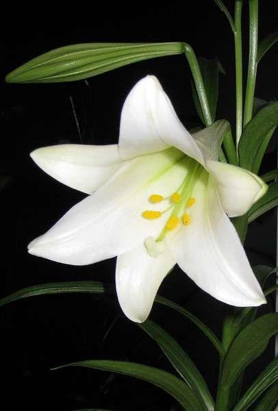 Bedwelming 10. Lilium longiflorum, Kelk lelie Bolgewas, hoofdbloem, geurend @MV68