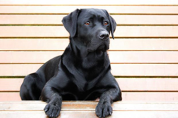 35 Medium And Small Dogs Good With Kids Black Dog Syndrome Labrador Retriever Dogs And Kids