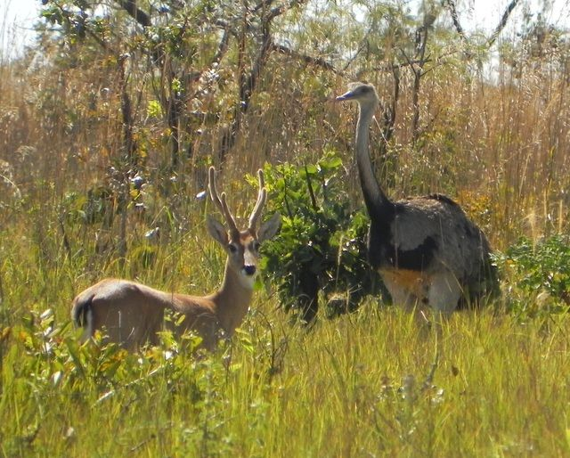 Foto ema (Rhea americana) por Ricardo R. Silva   Wiki Aves - A Enciclopédia das Aves do Brasil