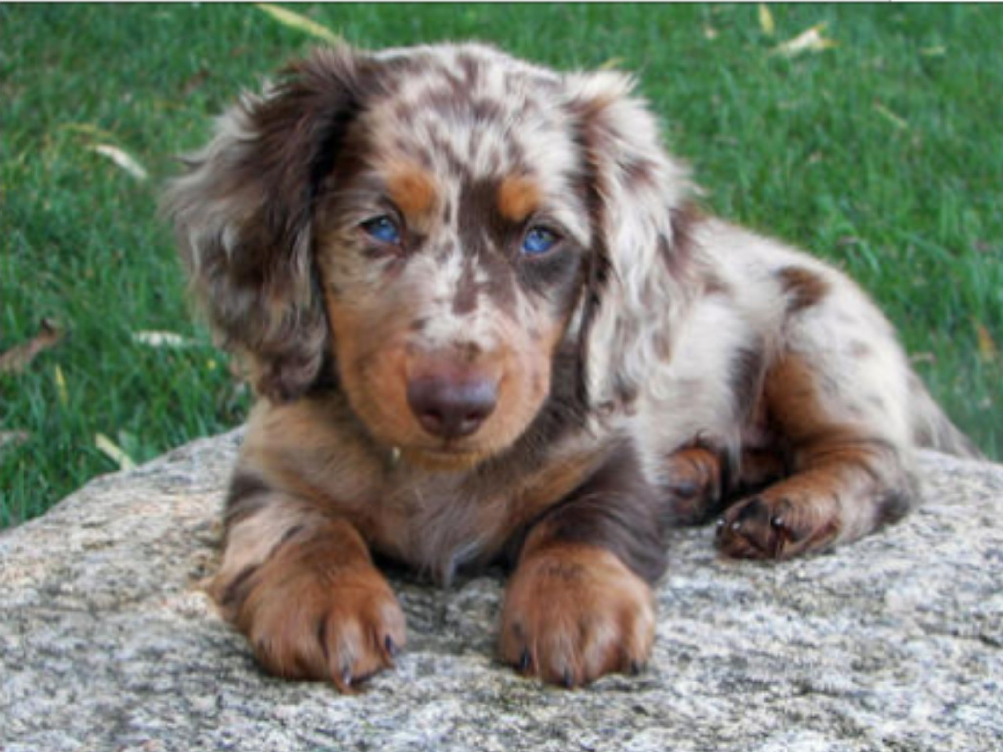 I Want A Female Dachshund Exactly Or Very Similar To This One