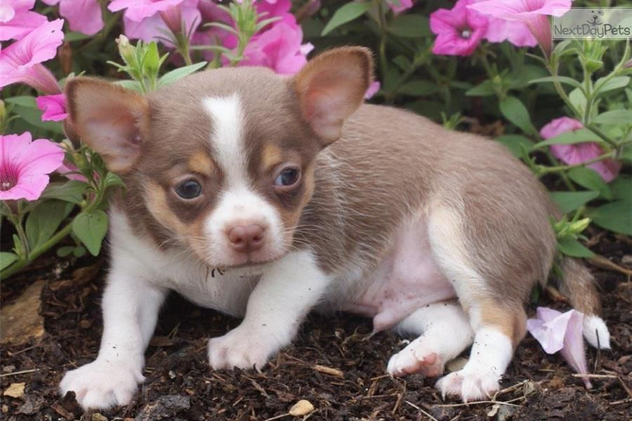 You Ll Love This Male Pomchi Puppy Looking For A New Home Pomchi Puppies Puppies Pomchi Dogs