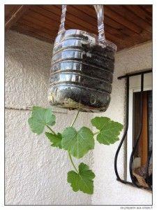 jeune plant de courgette l 39 envers en bouteille suspendue accroch e au plafond jardin. Black Bedroom Furniture Sets. Home Design Ideas