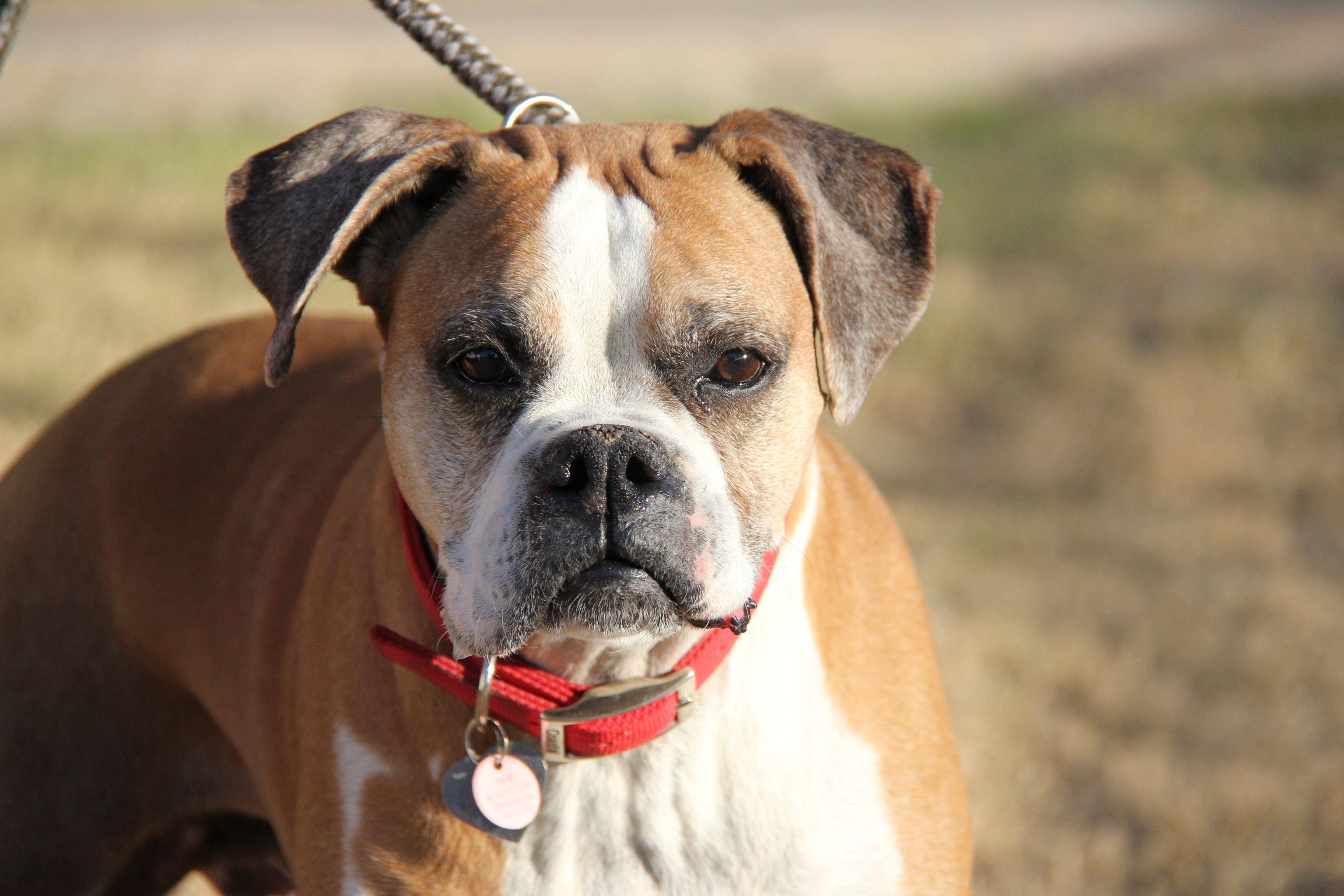 Boxer dog for Adoption in Phoenix, AZ. ADN763348 on