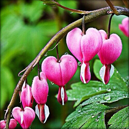 Bleeding Heart Flowers Rain Drops Bleeding Heart Flower Flowers Bleeding Hearts