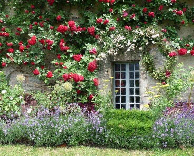 Pretty Climbing Roses Lavender Courtyard Pinterest Lavender