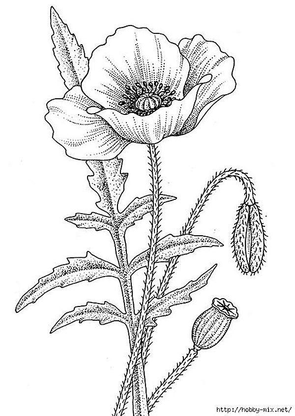 Anyak Napi Transzfer Kepek Mohn Zeichnung Blumenzeichnung Blumenzeichnungen