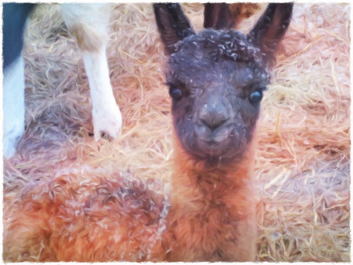 Our new baby llama, Curious George!  Born 1/20/2016