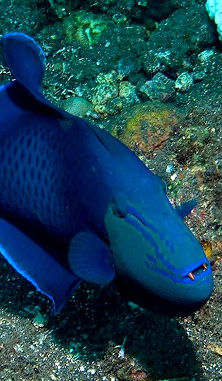 Redtoothed Triggerfish Odonus Niger Ocean Creatures Ocean Dwellers Sea Animals