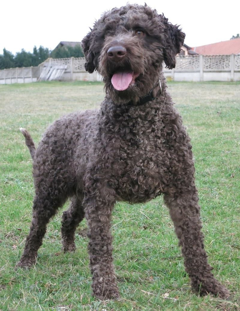 Lagotto Romagnolo Great Length Of The Coat Hypoallergenic Dog