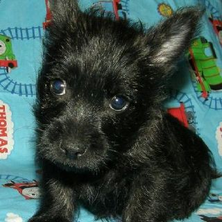Black Cairn Terrier Puppy Such A Sweet Face 3 Next Baby I