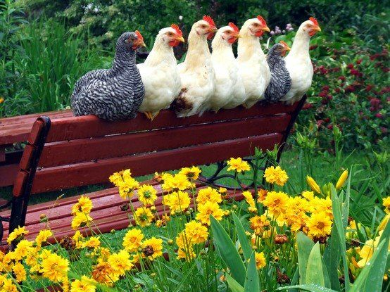 Chickens on a bench