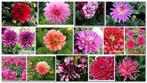 Resultado de imagem para dálias flores