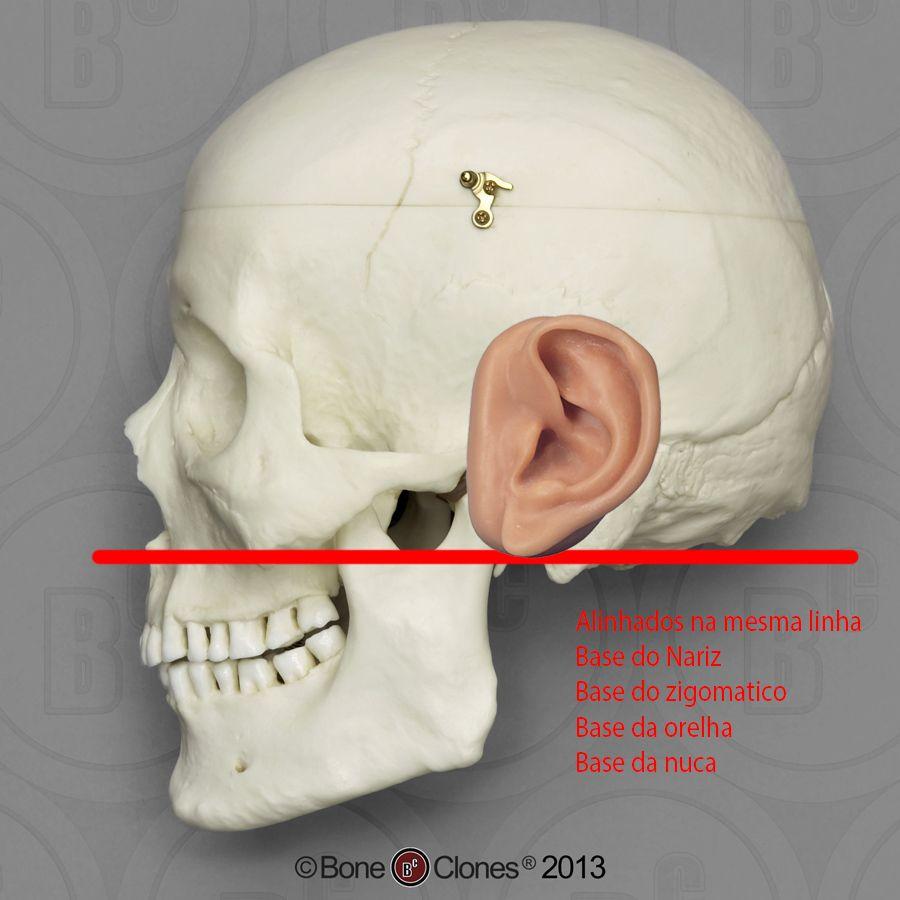Pin von Daniel Trindade auf Estudo Cranio Humano | Pinterest
