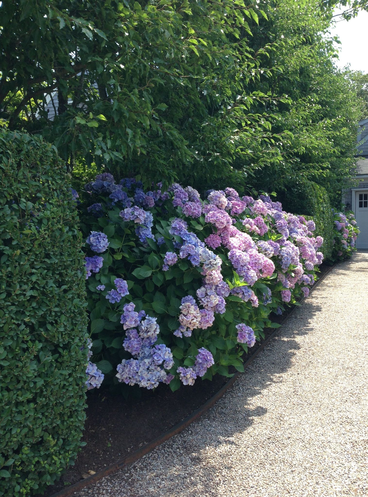 Nantucket crushed seashell driveway and hydrangea for Jardines con hortensias