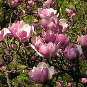 Magnolia Pflanzen Schone Blumen Baume Pflanzen
