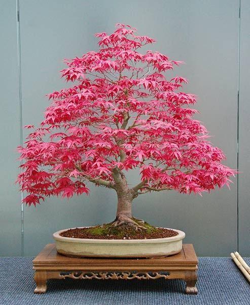 Bonsai Baum Bonsai Tree Roter Japanischer Ahorn Red Japanese