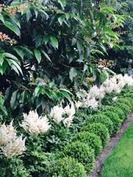A Nice Underplanting Of White Astilbe Under A Portuguese Laurel Hedge Hedges Landscaping Boxwood Landscaping Laurel Hedge
