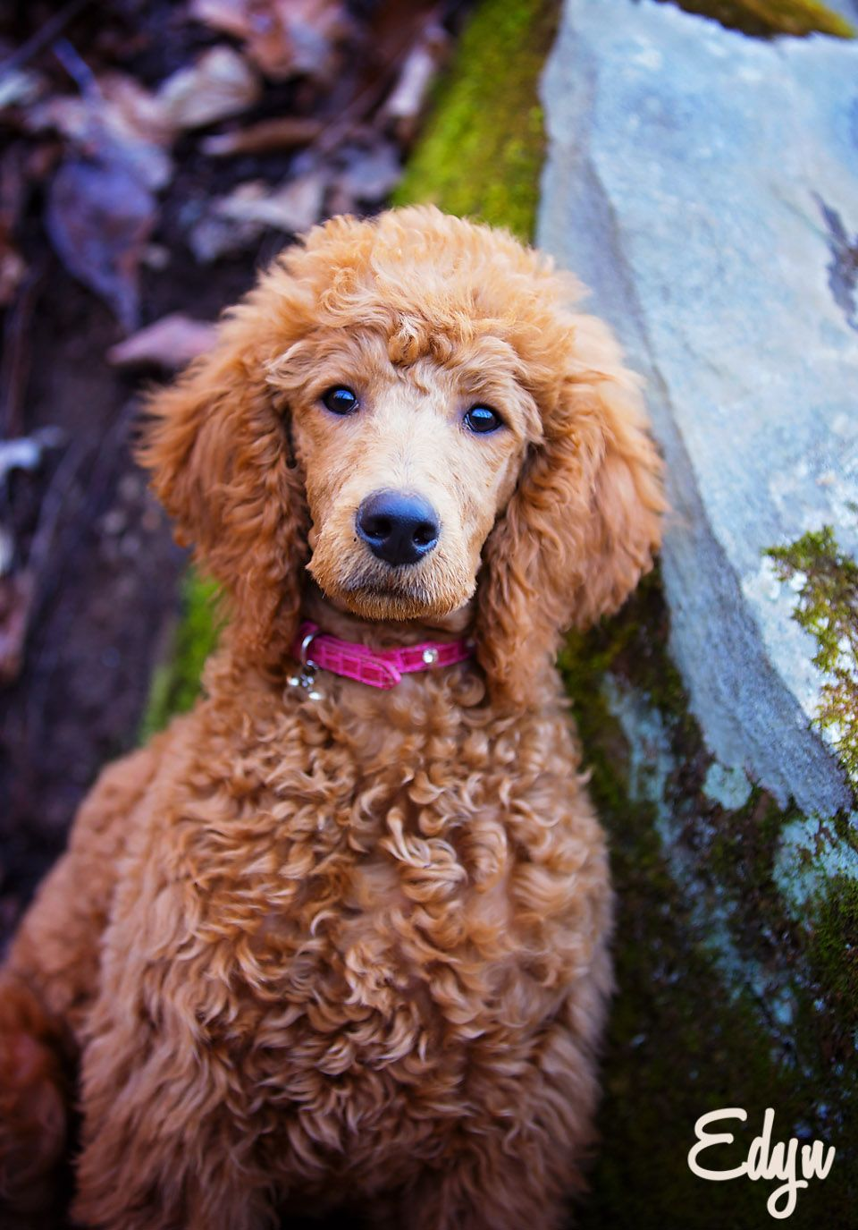 Standard poodle haircuts or of unless soft haircuts standard poodle - This Looks Like Tali When She Was A Pup