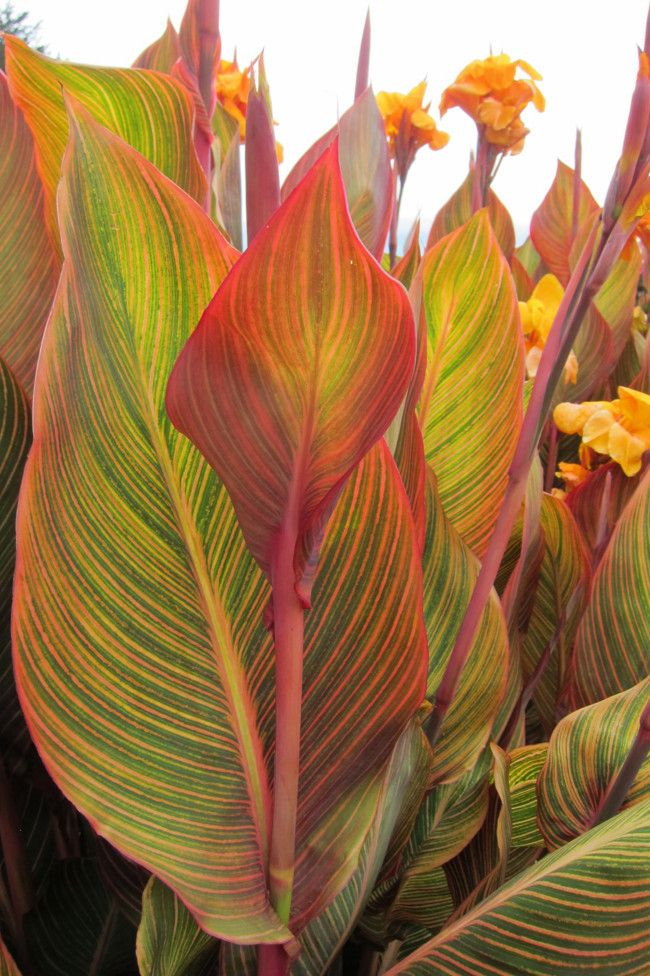 bf7321da599 10 plants you can't kill image 2. Canna Tropicana The hot, bright ...