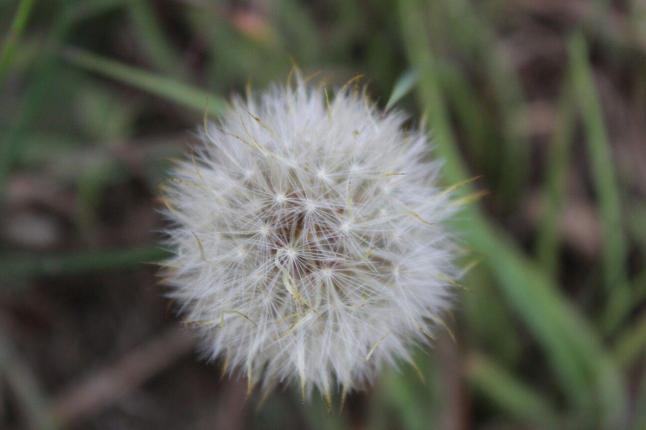 Pin By Rathod Debo On Being A Photoholic Soul Dandelion Flowers Plants