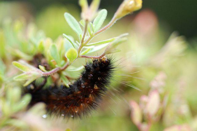 Black Caterpillar Crawl Black Caterpillar Flowers Caterpillar