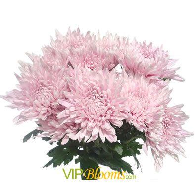 Pink Mums Football Chrysanthemum In Vipblooms Com Wedding Flower Trends Flower Identification Wholesale Flowers
