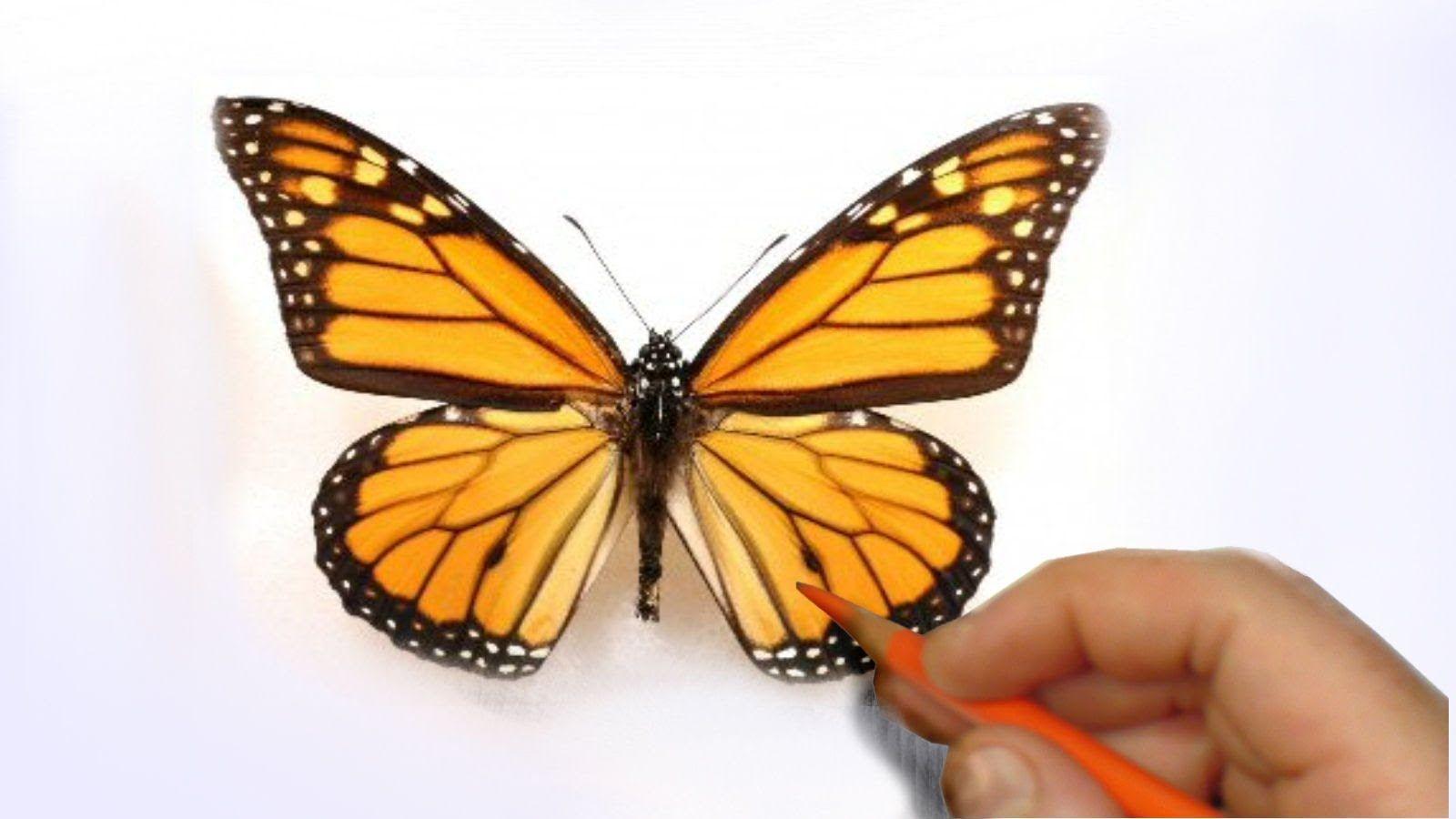 Dessiner un papillon r aliste techniques de dessin tegninger et malerier - Dessine un papillon ...