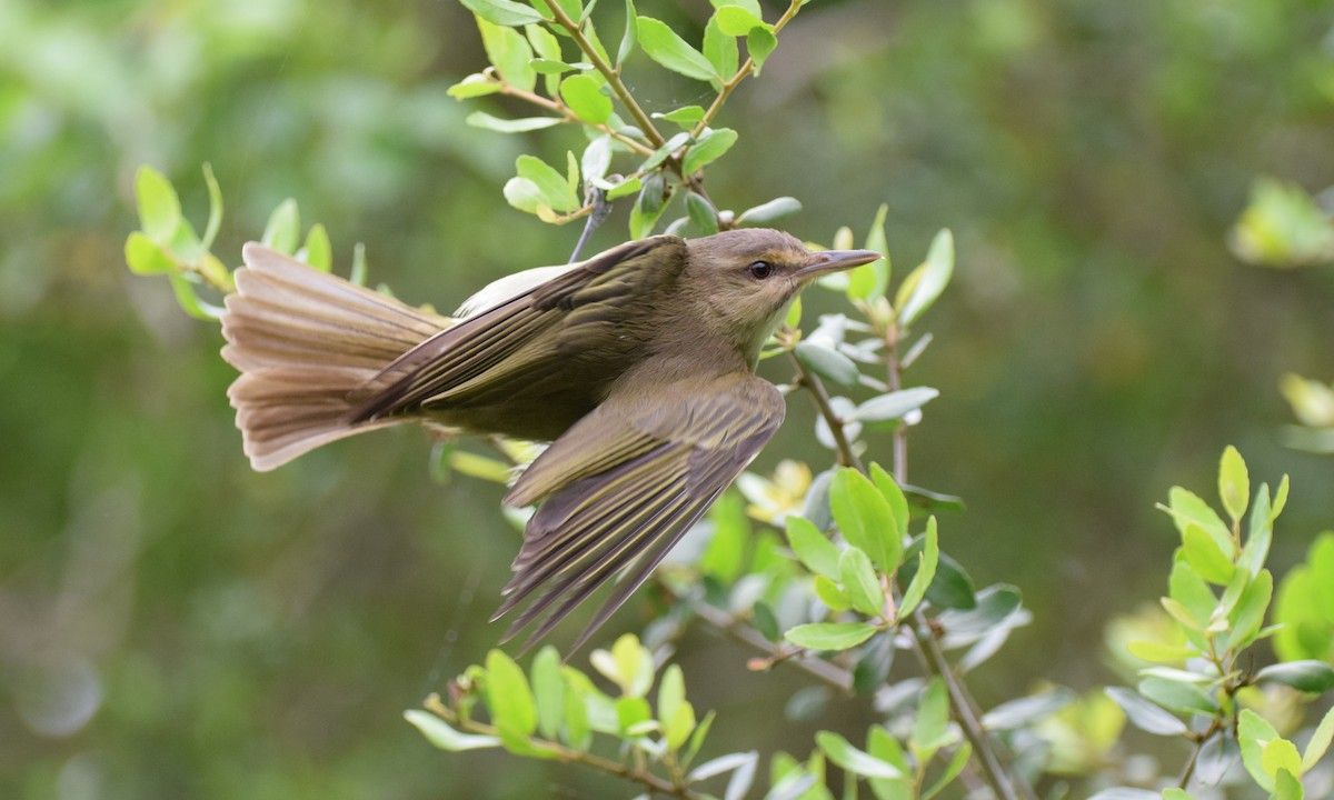 Blackwhiskered Vireo Introduction Neotropical Birds