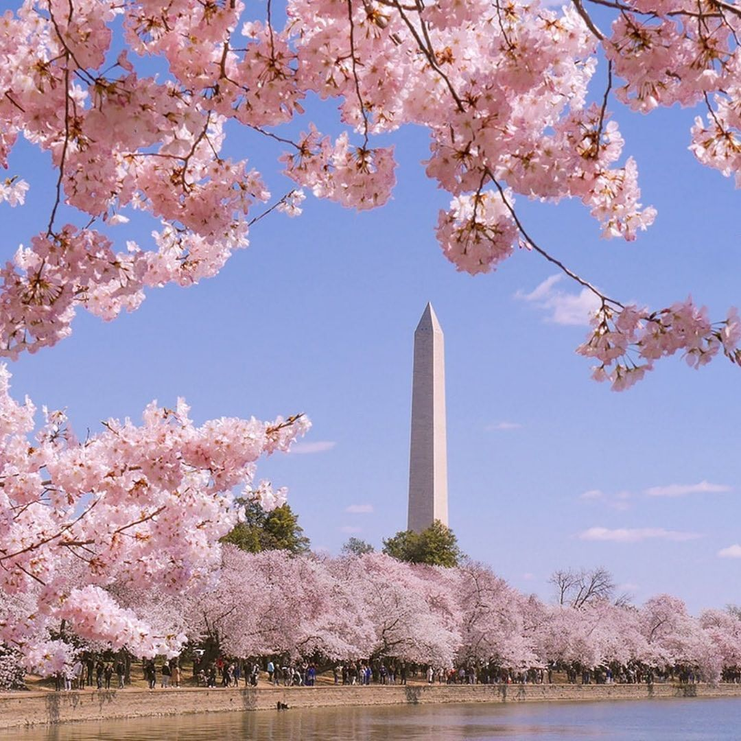 Washington Dc On Instagram Have You Had The Chance To Check Out Blossomcam Yet The Cherry Blossoms Have Cherry Blossom Dc Cherry Blossom Art Cherry Blossom