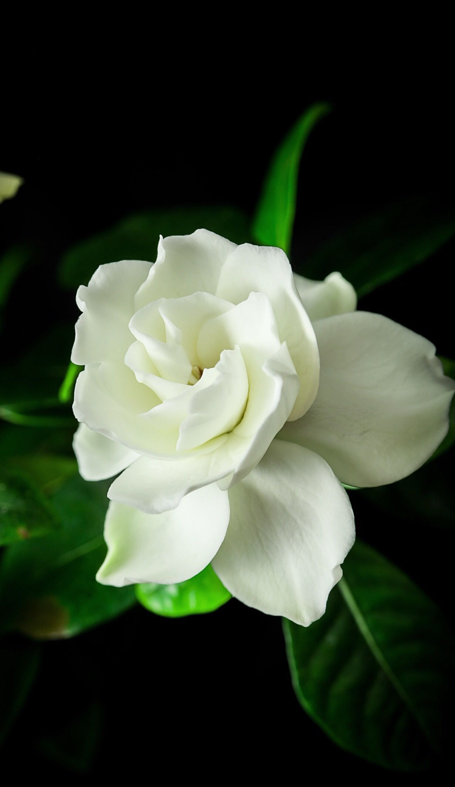 Gardenia Flowers Plants Live Wallpapers