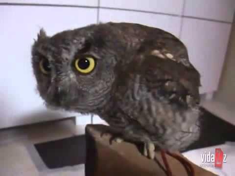 Youtube Screech Owl