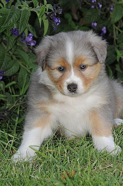 German Australian Shepherd With Gray Fur With Tan And White Markings Australian Shepherd Puppies Australian Shepherd Aussie Dogs