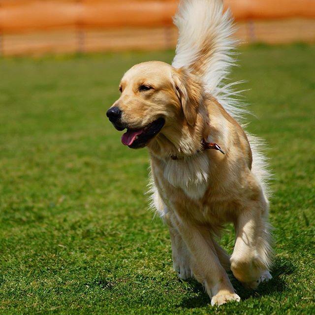 Ilovegolden Retrievers Pets Perfection My Loving Pet