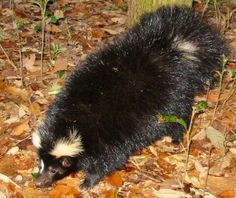 black skunk