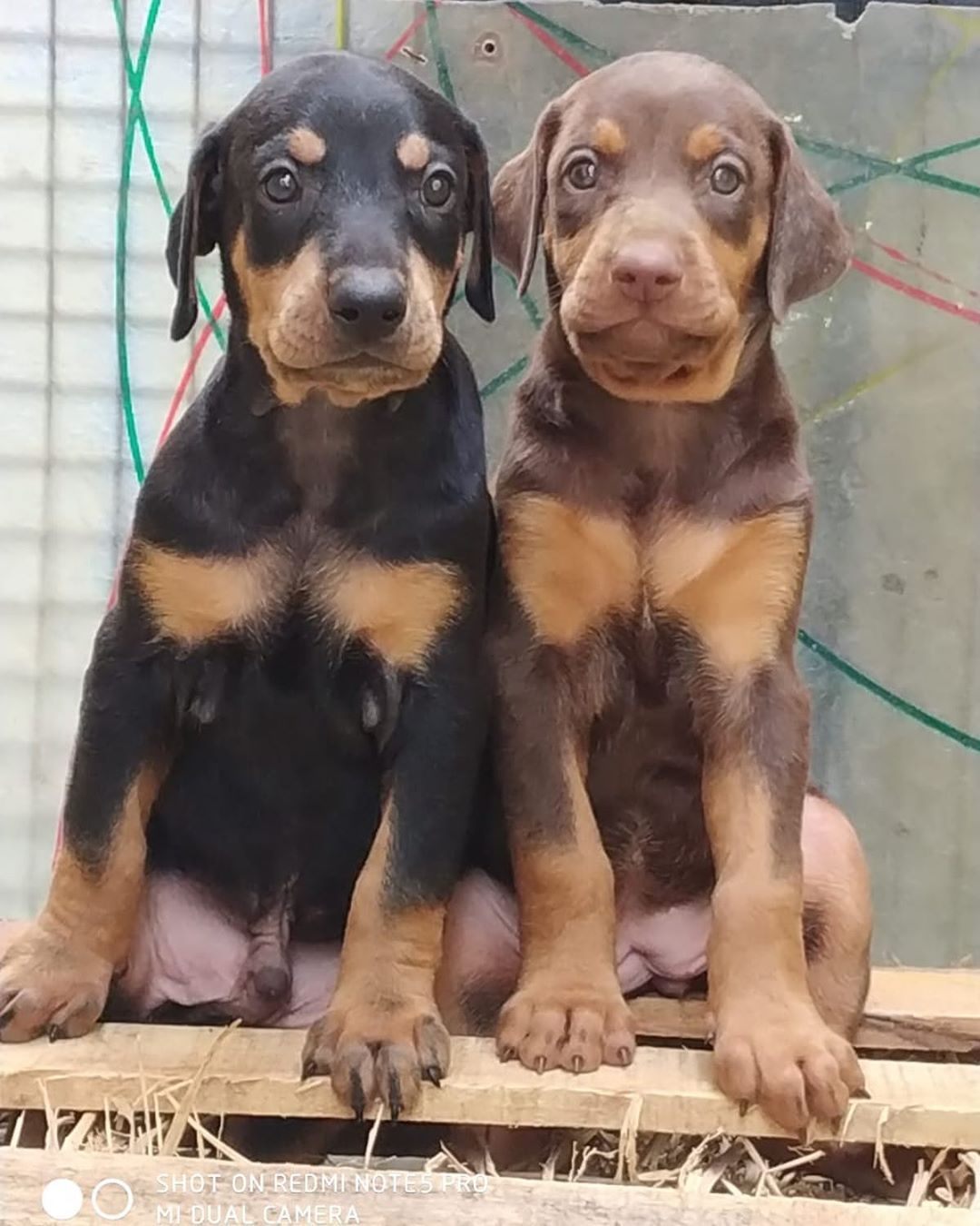 Top Quality Doberman Puppies For Sale Import Bloodline Champion
