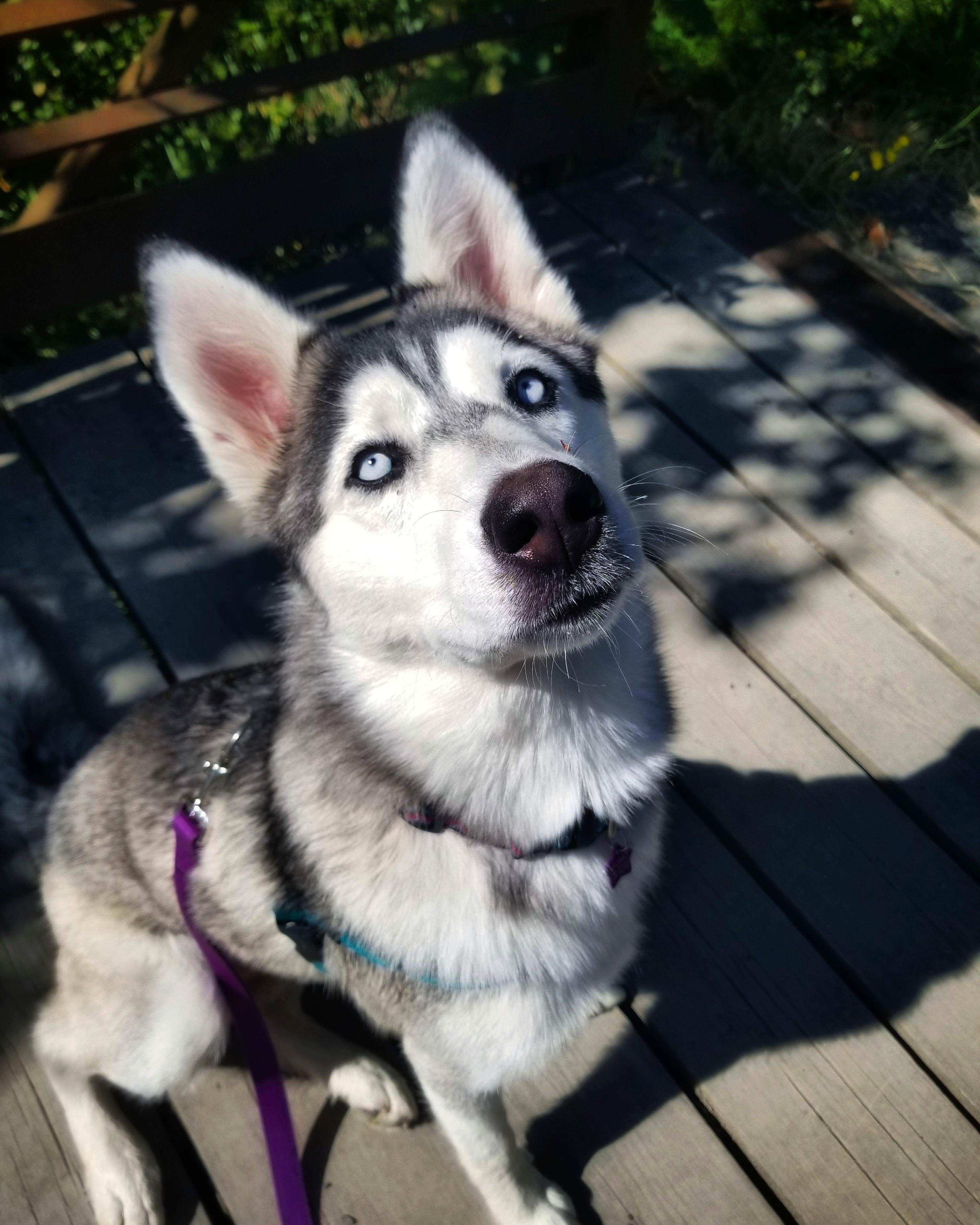 Juno S Eyes Will Stare Straight Into Your Soulhttps Imgur Com Lubybnr Siberianhusky Siberian Husky Super Cute Animals Animals Beautiful