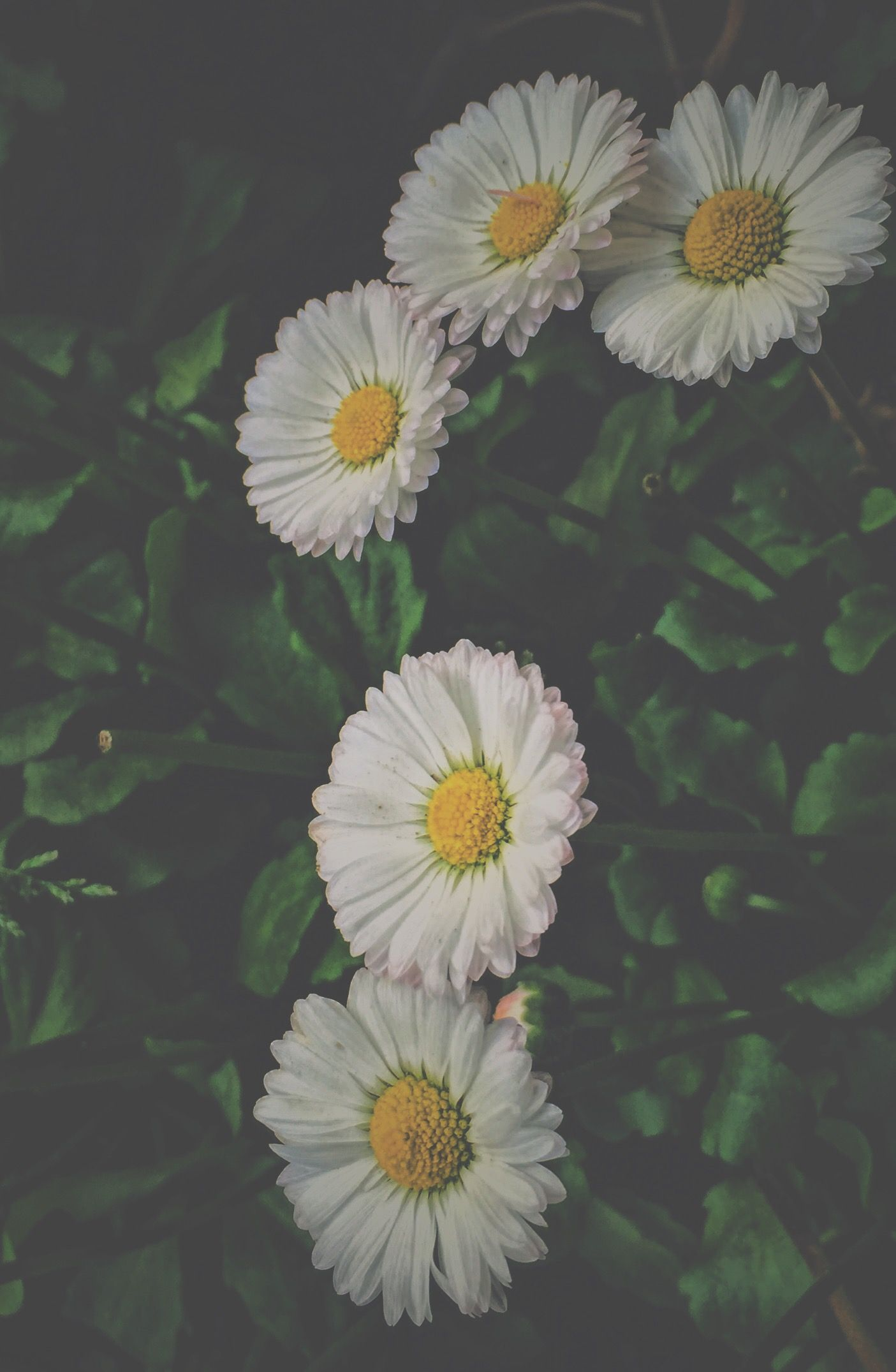 Daisies Tumblr Aesthetic Daisies Background Wallpaper